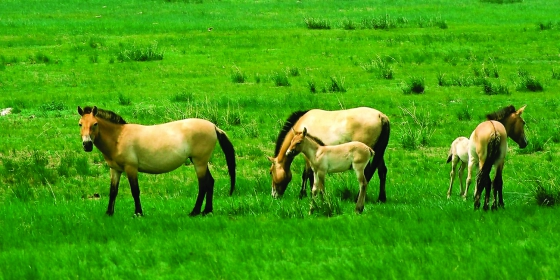 How to See Przewalski's Wild Horse
