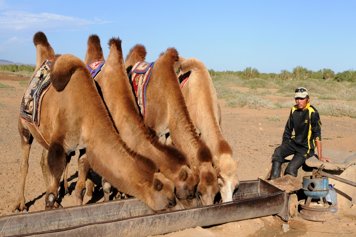 A camel breeder with his camels at Gobi desert Mongolia