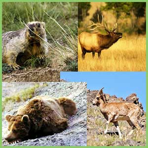 Animals of Mongolia - mammals of Mongolia