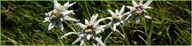 Edelweiss in Mongolia - flower of Mongolia