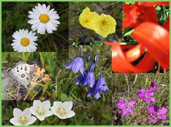Flora of Mongolia - flowers of Mongolia